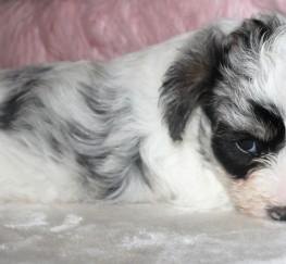 Pets  - Schnoodle Pups. Poodle X Schnauzer Pups READY NOW