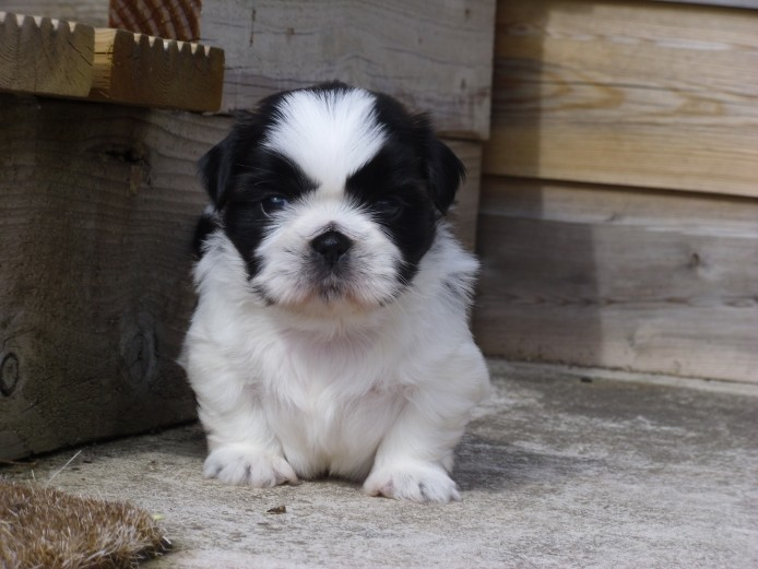 Outstanding Pedigree Shih Tzu male Puppy