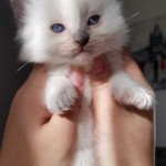 ragdoll boys kitten