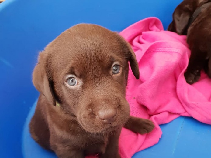 Chunky chocolate labrador puppies