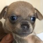 KC chihuahua puppies blue & lilac & Chocolate