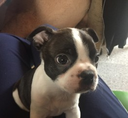 Pets  - Boston Terrier Puppies 2 left