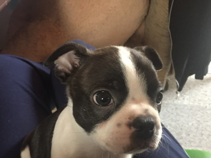 Boston Terrier Puppies 2 left