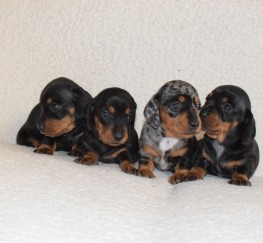 Pets  - Gorgeous mini Dachshund puppies ready for reservation!