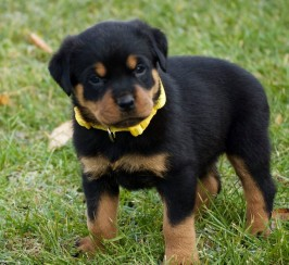 Rottweiler Pup Wanted