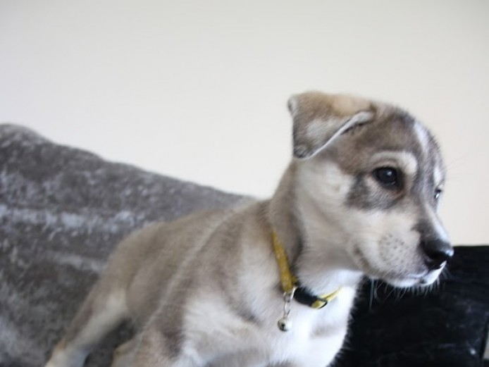 Stunning Wolf-like Husky Mixed Breed Puppies