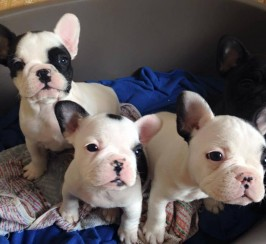 13 Week Old Kc Registered French Bulldogs