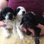 3x Lovely Cockapoo Puppies
