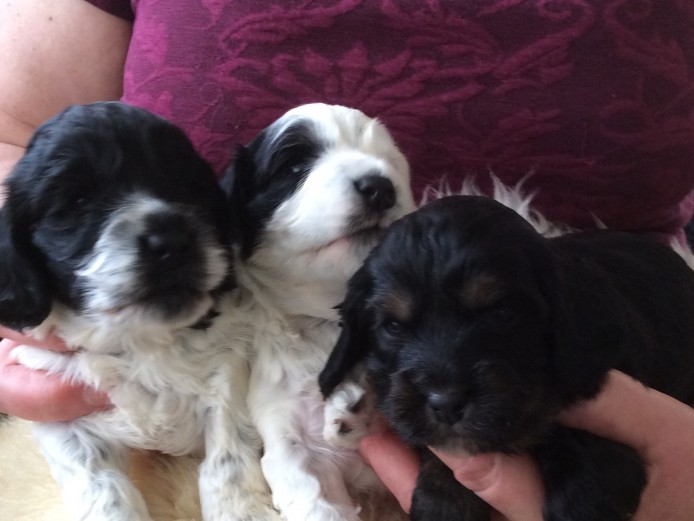 3x Lovely Cockapoo Puppies