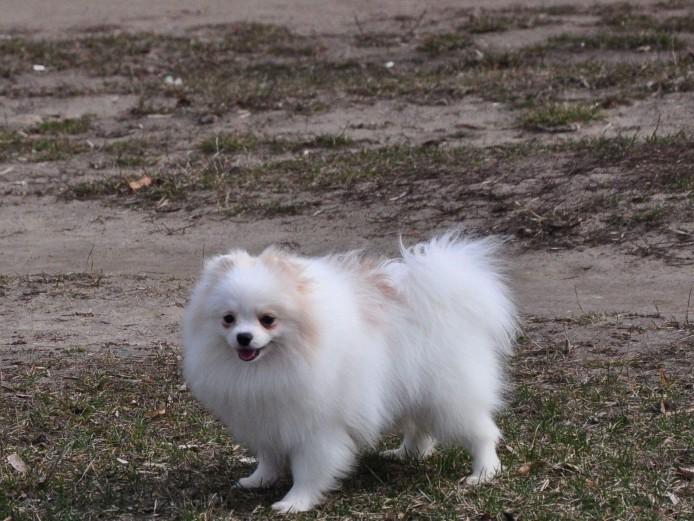 Stunning Miniture Female Pomeranian Puppy