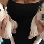 Kc reg bulldog puppies