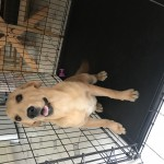 Labrador for sale