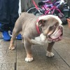 Pets for Sale - British bulldog tripple carriers for sale