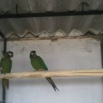 Baby Amazon Parrots With Papers available