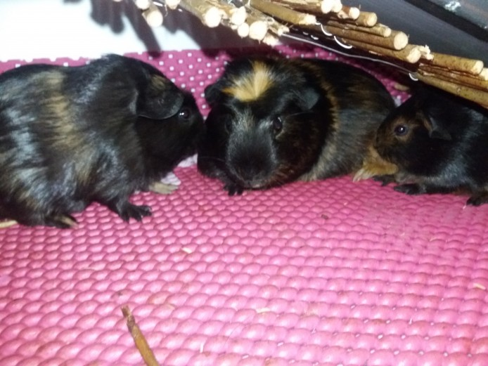 Girls guinea pigs