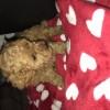 Pets  - F1b Cavapoo puppies