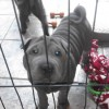 Pets  - Blue Shar Pei Kc registered pups