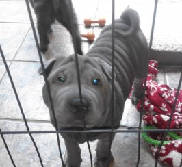 Blue Shar Pei Kc registered pups