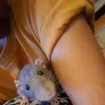 X2 9month Old Sweet Loving Male Ratties For Sale