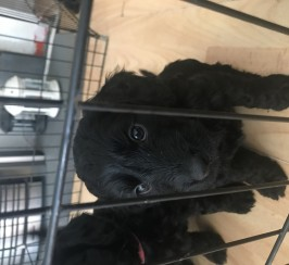 Cockerpoo puppies