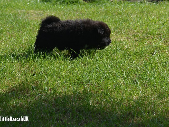 Chow Chow X Samoyed puppies for sale