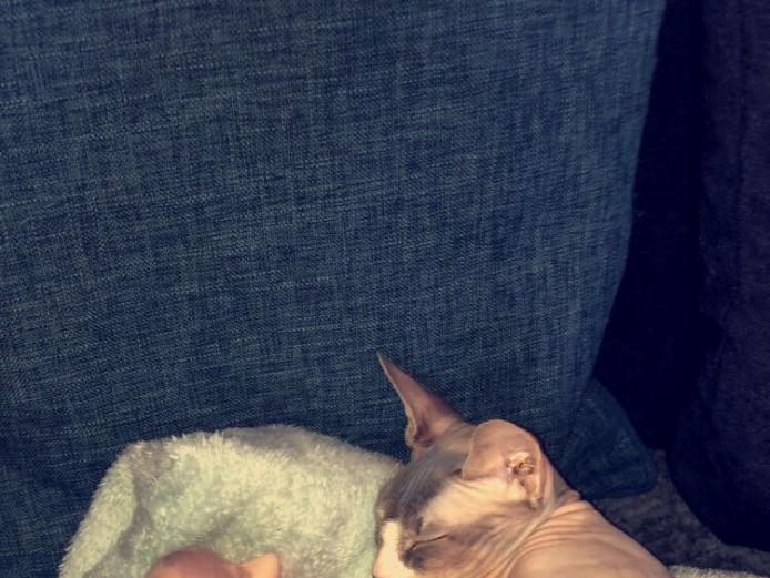GCCF sphynx kittens