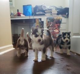 Pets  - Beautiful Siberian Husky puppies