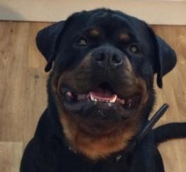 Pets  - Kc reg champion line Rottweiler pups