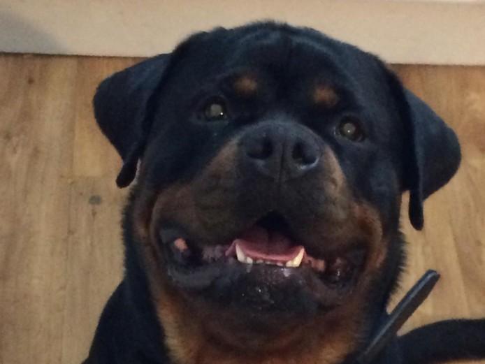 Kc reg champion line Rottweiler pups