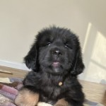Tibetan Mastiff Puppies for sale