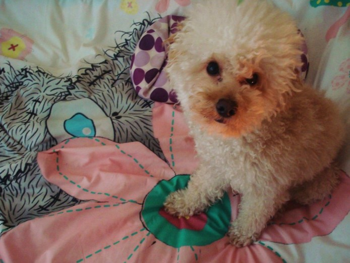 Stunning Apricot Proven Toy Poodle PRA Clear for STUD only
