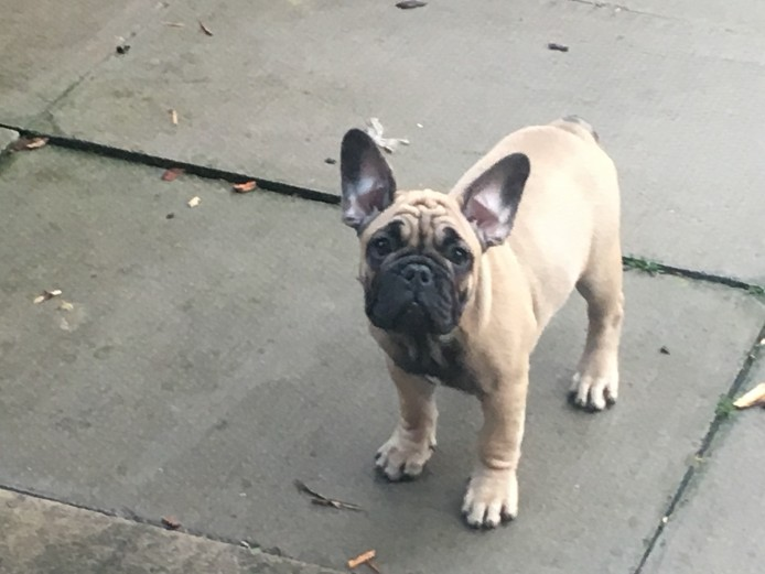 Reduced KC French Bull dogs