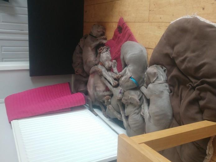 Gorgeous 7 week old weimeraner puppies
