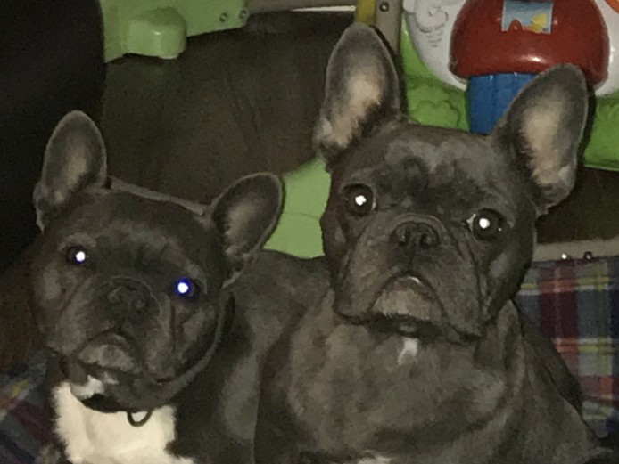 French bulldog Blue puppies available next week