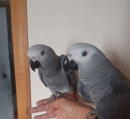 DNA Tested African Grey ParrotS With Cage And Stand For Adoption