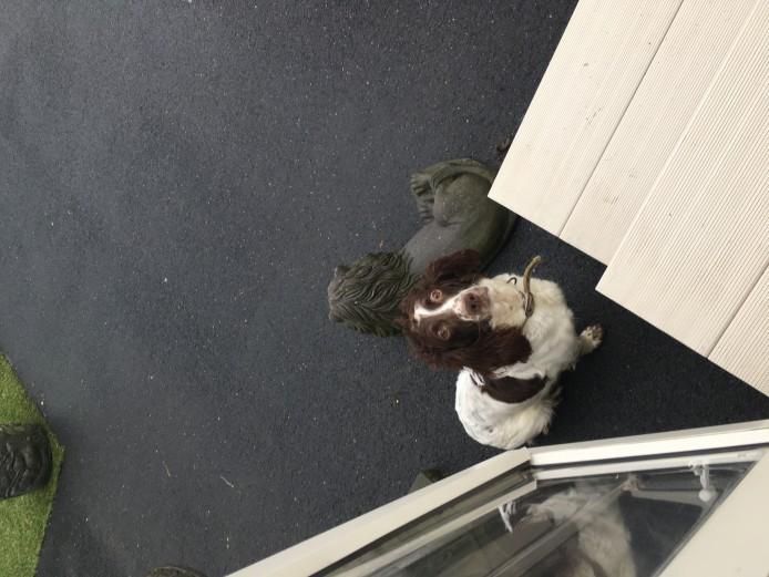 Male Sprocker Puppies