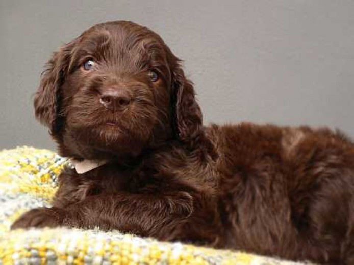 Standard Labradoodle F4 multi pups ready to view