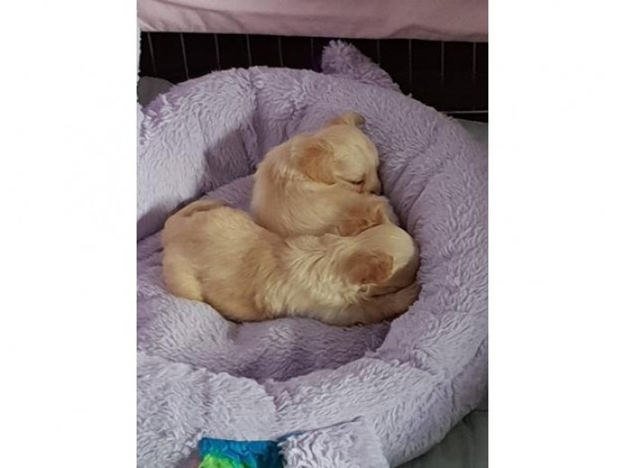 Gorgeous Fluffy Chi Chis Available