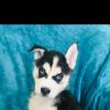 Pets  - Beautiful KC Registered Siberian Husky Puppies