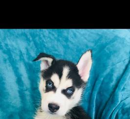 Beautiful KC Registered Siberian Husky Puppies