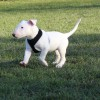 Pets  - Stunning White English Bull Terrier Puppy For Sale
