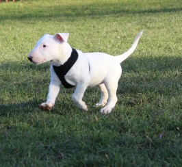 Stunning White English Bull Terrier Puppy For Sale