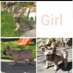 LAST REMAINING FEMALE FRENCH BULLDOG PUPPY