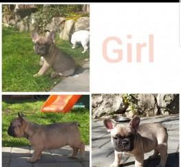 Pets  - LAST REMAINING FEMALE FRENCH BULLDOG PUPPY