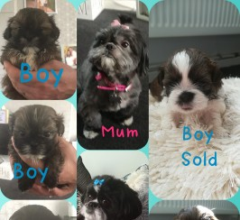 full pedigree shih tzu puppies