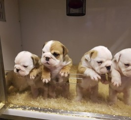 Superbly Bred Gorgeous Kc Reg British Bulldog Pups Born 05/05/2019