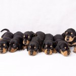 Gorgeous Black and Tan puppies 3 left