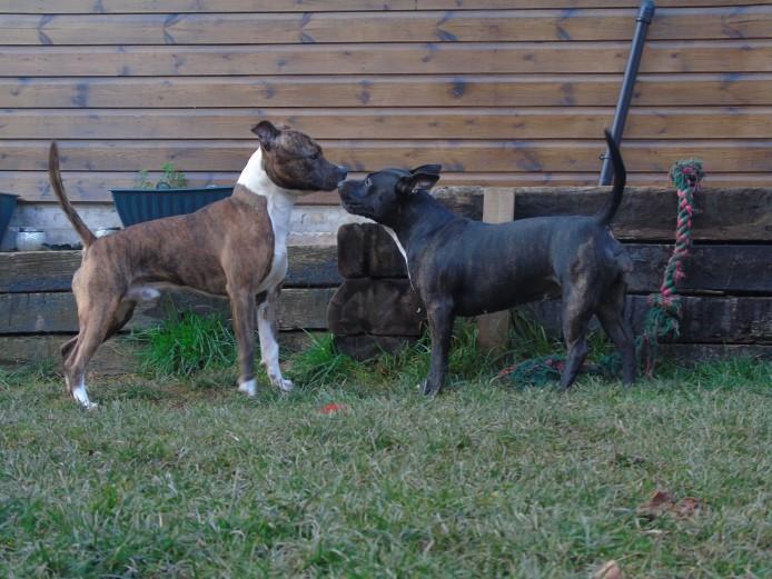 Statffordshire Bull Terrier