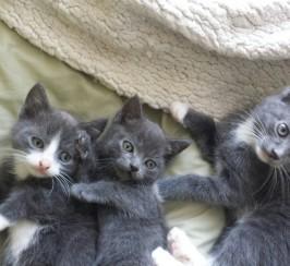 Grey Kittens all female