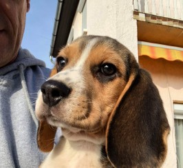 Tri color hungarian beagle sale